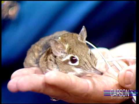 Cute But Mean Little Animal, the Elephant Shrew, on Johnny Carson's Tonight Show