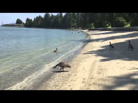 The Canada goose can be a REAL jerk.