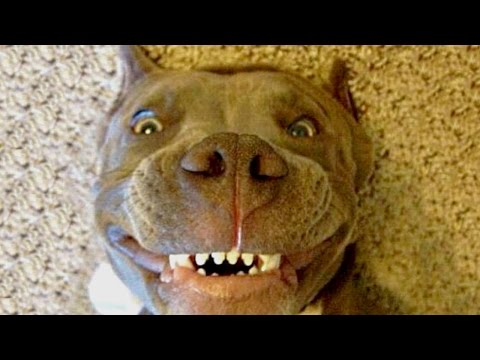 Funny Pitbull Compilation NEW