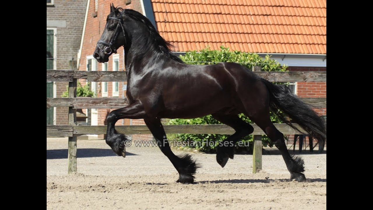 Pinto Friesian Horse Friesian Horse Gelding Named