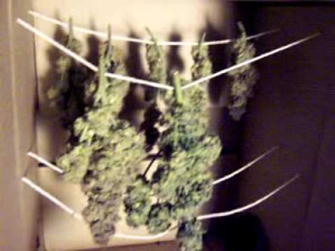 Harvest # 2 - Purple Kush - 4 plant DWC in my closet Video