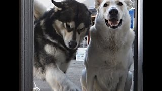 "Dog needs Permission to eat Treats | ""Sheru"" the Alaskan Malamute 
