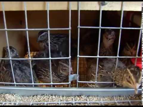 Разведение перепелов, кур и кроликов на даче и дома магазин Большой Фермер Бизнес идея