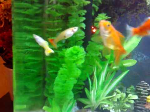 Tetras Guppies Together Guppies Living Together
