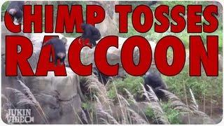 download lagu Chimp Tosses Raccoon Like A Frisbee gratis