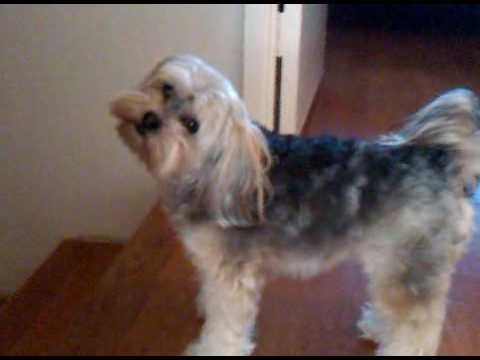 Our 2 Year Old Dog Morkie Yorktese Named Ajee Youtube