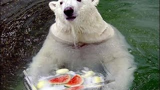 Home video of a polar bear