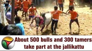 About 500 bulls and 300 tamers take part at the jallikattu at Pudukottai