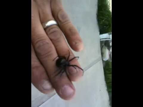 Biggest Black Widow Spider in The World Black Widow Spider