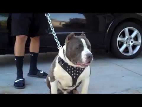 American Bully Gotti with new Harness...