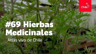 #69 Hierbas medicinales - Atlas Vivo de Chile