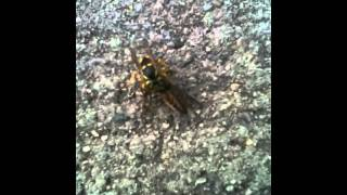 Yellow Jacket Brutally Dismembers Bee!