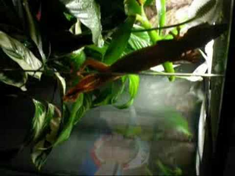 Leaf tail gecko Re: Reptile Competition!! Video