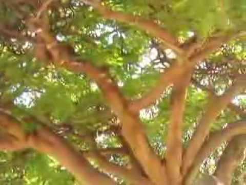 Royal Poinsettia Tree, Lahaina, Maui, Hi
