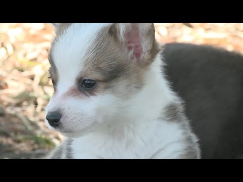 Playful Corgi Puppies Hop Around klip izle