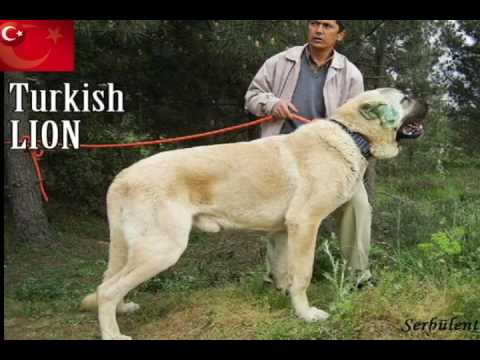 Worlds Biggest  DOG TURKISH POWER