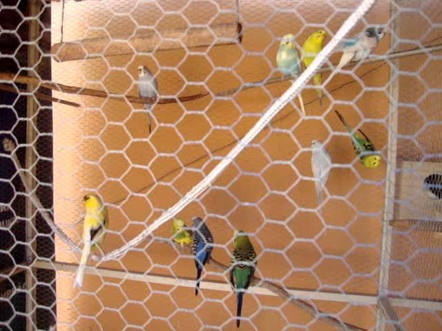 Calopsitas - Preparando ninho no viveiro