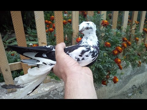 Узбекские двухчубые голуби,полет!