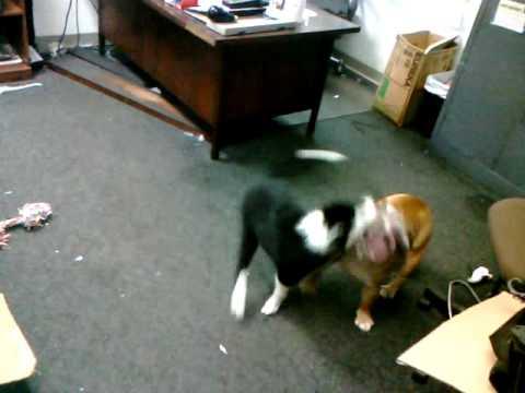 Watch How to Make Your Labrador Retriever Happier video