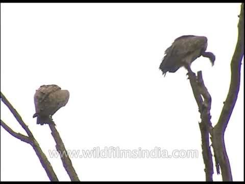 Vultures - birds of prey - sitting on tree-tops