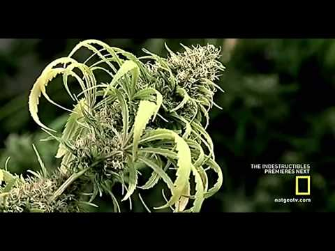 National Geographic Documentary on the Effects of Marijuana