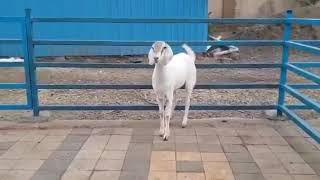# BEAUTIFUL GOAT FOR SALE