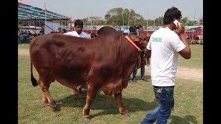 ২৭ মণ ওজনের 'রাজা বাবু'র দাম ১৪ লাখ !!! Biggest Cow in Gabtoli cattle market 2017.