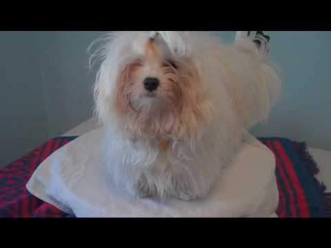 maltese puppy spring hair cut before and after (and after)