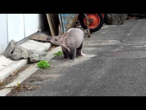 名古屋 東山動物園 ツチブタの赤ちゃん