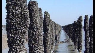 How to Harvest Oyster and Mussels ? - Oyster and Mussels Farming & Harvesting & Processing