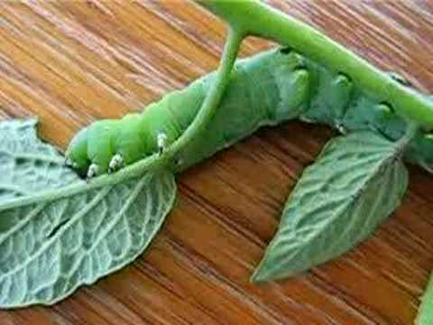 Caterpillar Eating