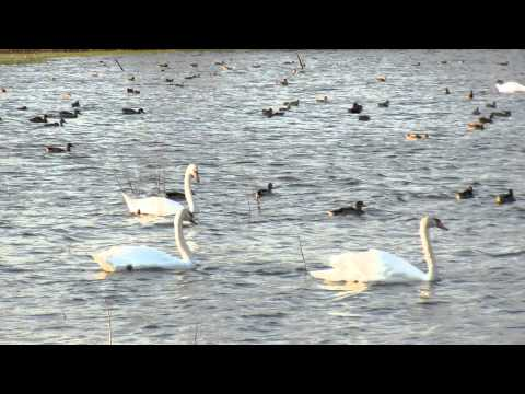 Swan Lake at Jamaica Bay Wildlife Refuge