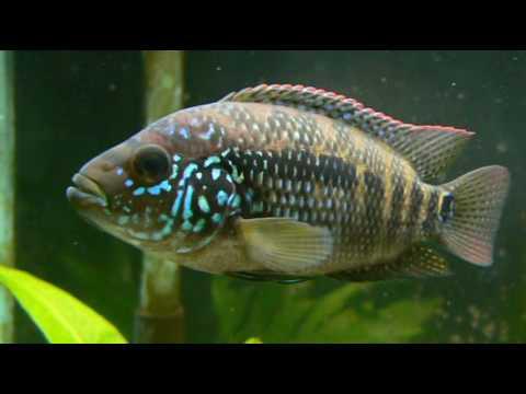 Jack dempsey cichlid female youtube for Jack dempsy fish