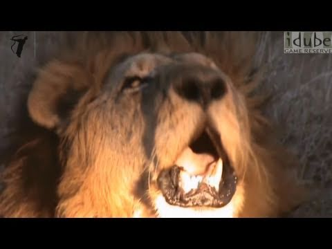 Powerful, Amazing, Close Up Lion Roar In Hd! video