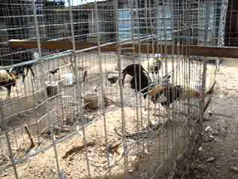 gallos  en venta baratos!