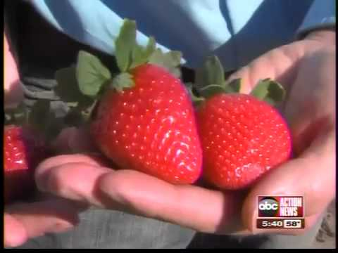 Winterstar strawberry is a sweet newcomer to Florida farms