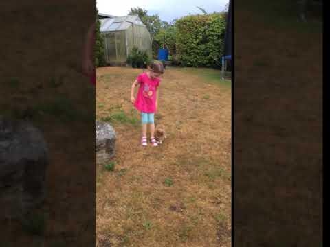 VDH Shelties vom Ponyhügel: Nino zu Hause im Garten!