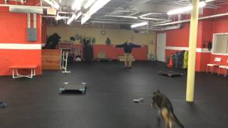Remote Collar recall drills Dog Training GSD