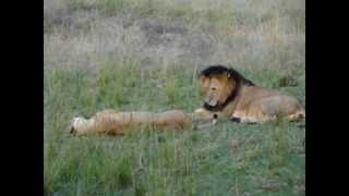 Lion Porn in Kenya's Masai Mara