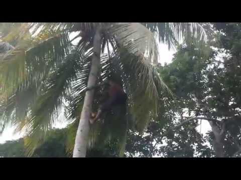 Climbing a coconut tree the Jamaican way