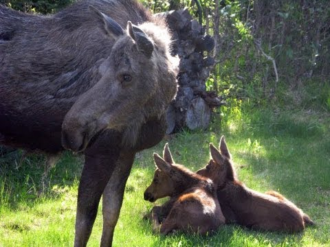 Twin Baby Moose in Sprinkler - more footage, no music