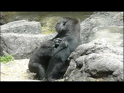 2011年5月31日の上野動物園のゴリラの母子。Mom and cute baby gorilla.