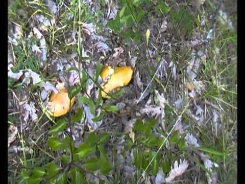 Ovoli di Lucania 2