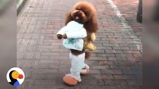 Dog Walking on Two Legs - ANIMAL ABUSE!