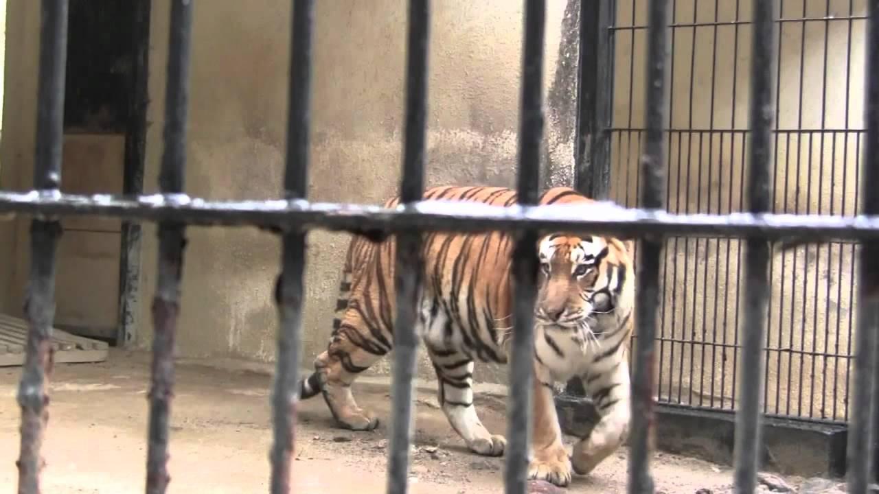 last siberian tiger in south korea youtube