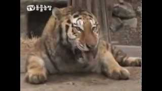 TV Documentary - Who wins. Tiger vs Lion