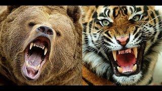 Tiger vs Bear face off in an encounter in Maharashtra's Tadoba National Park.