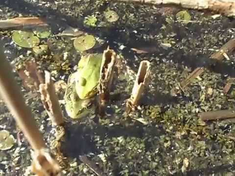 Two Frogs in Love Two Frogs in Love Part 2 or