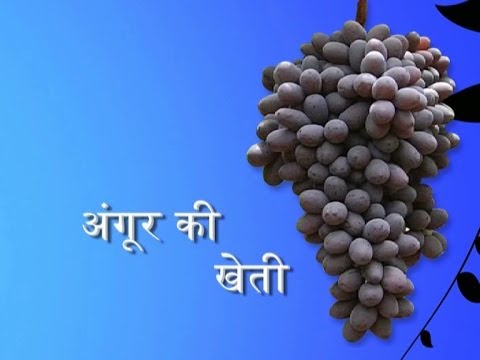 Grape Cultivation (Hindi)