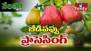 Cashew Nut(jeedipappu) Processing Guide By Mynampati Sreenivasa Rao | Nela Talli | hmtv